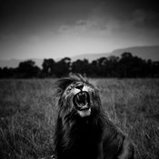 7683-Lion_crying_in_the_bush_Laurent_Baheux