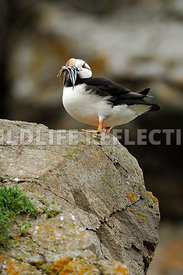 Horned Puffin Edge of Ledge