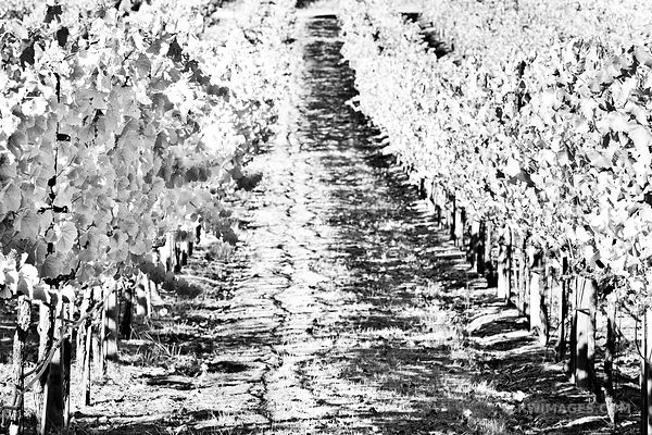 VINEYARD NAPA VALLEY CALIFORNIA BLACK AND WHITE