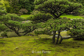 Pine Trees and Moss in Seattle's Japanese Garden