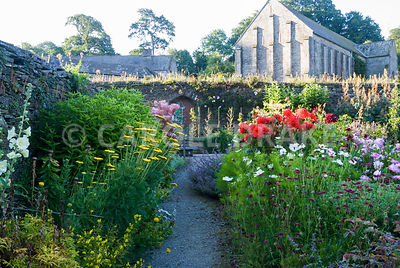 Ornamental beds in the walled kitchen garden below the 13th century Great Barn include achilleas, dahlias, Knautia macedonica, cosmos and hollyhocks. The Cider House, Buckland Abbey, Yelverton, Devon, UK