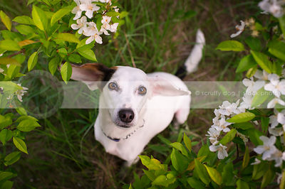 cute little white dog with ears looking upward from flowers