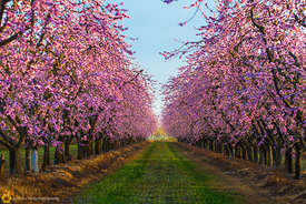 Peach Orchards in Bloom #18