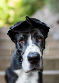 Close Up of Great Dane with Ears Folded on Head