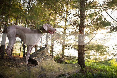 grey gundog perched on log in pine trees with sunshine