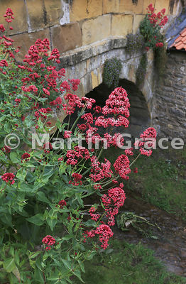 Red Valerian (Centranthus ruber), Helmsley, North Yorkshire, England