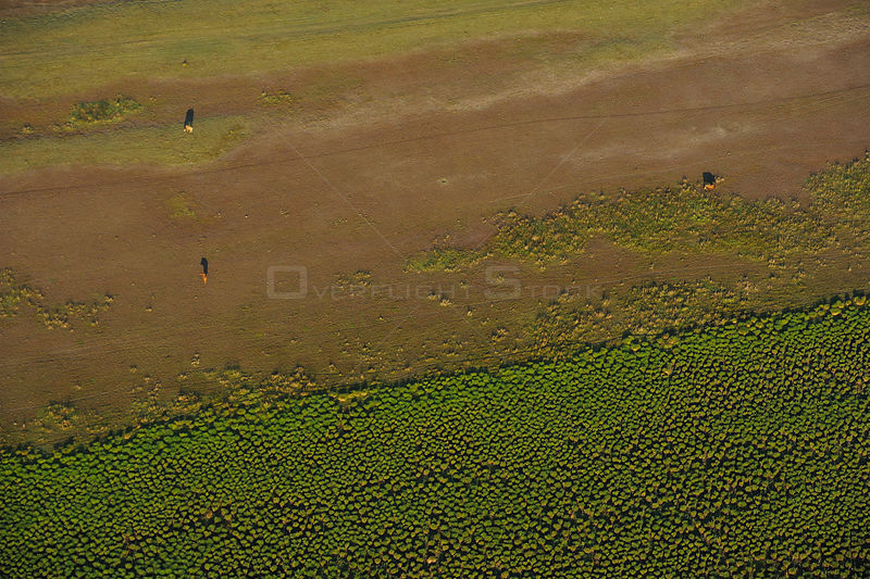 Aerial view of feral horses within the Danube delta rewilding area, Romania, June 2012