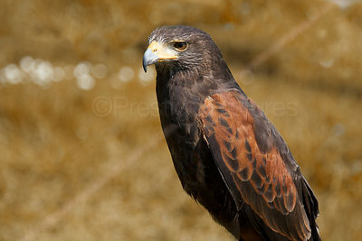 Harris Hawk Bird of Prey perched in Natural Surroundings
