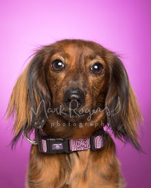 Miniature Dachshund Close-up Against Studio Background