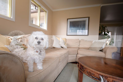 cute little white groomed dog in livingroom indoors