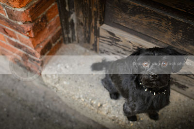cute small black dog looking upward from door stoop