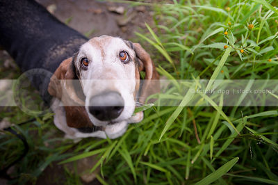 basset hounds photos