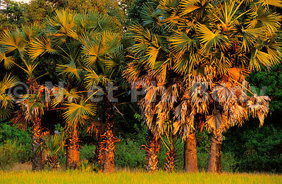 PALMIERS, CAMBODGE//PALM TREES, CAMBODIA