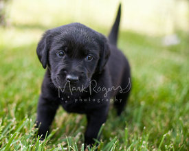 Young black lab puppy standing on grass