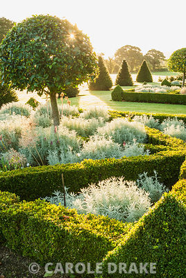 Parterre of box hedges containing standard bays, planted with santolina and Allium 'Purple Sensation' with yew pyramids and lawn stretching out toward a ha ha and Dorset countryside beyond. Old Rectory, Pulham, Dorset, UK