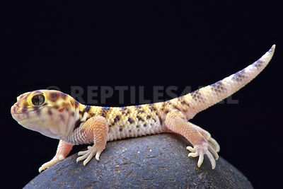 Wonder gecko / Teratoscincus scincus photos