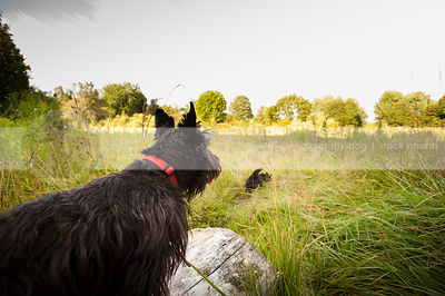 black dog from behind looking away on log in field of grasses