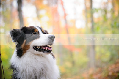 headshot of tricolor longhaired dog with minimal background