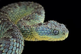 Bush viper (Atheris squamigera)
