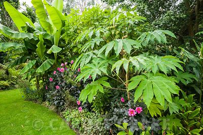 Tetrapanax papyrifer 'Rex' underplanted with dark leaved Dahlia 'Fascination' and Cautleya spicata.