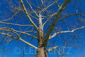 American Sycamore in Hopewell Culture National Historical Park