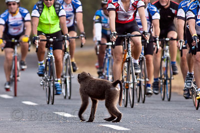 A chacma baboon from the Plateau Road troop gets out of the way of a throng of oncoming cyclists. Plateau Road is popular with local cyclists, who are often rude and dismissive towards the baboons, Cape Peninsula, South Africa