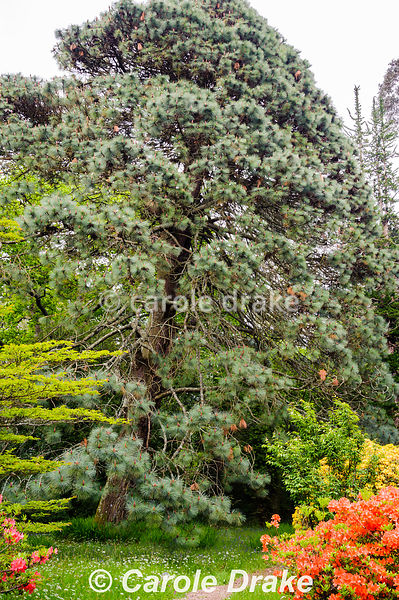 A massive Pinus montezumae, the Mexican Blue Pine, surrounded by bright azaleas and long grass full of wildflowers.