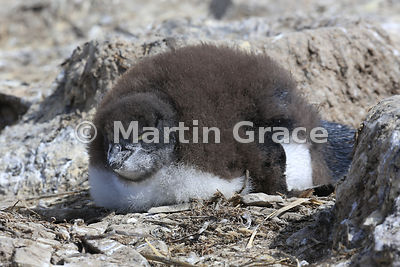 Young Southern Rockhopper Penguin (Eudyptes chrysocome chrysocome) on the nest, Sea Lion Island, Falkland Islands