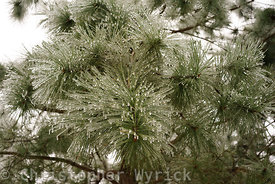 Pretty image of a frozen pine tree.  The details are gorgeous and make for a beautiful print.