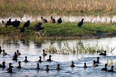 Common coots (Fulica atra), Keoladeo National Park, Bharatpur, India