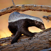 Honey Badger (Mellivora Capensis)