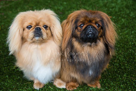 Two small pekingese dogs next to each other on grass