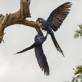 Hyacinth Macaw wildlife photos