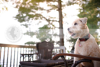 portrait of blond groomed dog sitting on patio furniture
