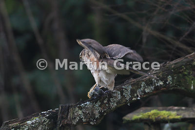 Juvenile male Eurasian Sparrowhawk (Accipiter nisus) subdues a Eurasian Blue Tit (Cyanistes caeruleus), Lake District National Park, Cumbria, England