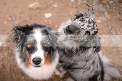 two curious australian shepherd dogs looking up from natural setting