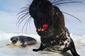 Hooded seal - Klappmyss