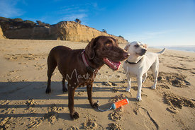 Two Labrador Retrievers Standing on a Beach with Toy