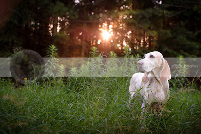 beautiful porcelaine hound standing in backlit grasses
