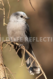 Gray Jay on Limb 01