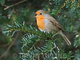 Robin Erithacus rubecula in song in Yew tree in churchyard in Suffolk February