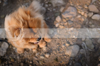 fluffy windblown red chow dog looking away in natural setting