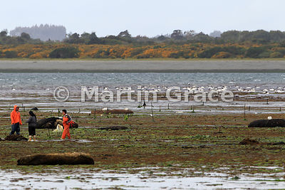 Chiloe islanders harvesting seaweed from the beach at low tide, Caulin, Chiloe Island, Chile