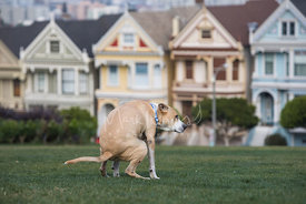 Large Tan and White Dog Pooping in Front of San Francisco Victorian Painted Ladies