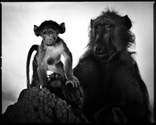 7629-Baby_baboon_with_its_mother_Botswana_2009_Laurent_Baheux