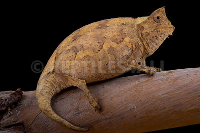 Perinet Leaf Chameleon (Brookesia therezieni) photos