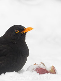 Blackbird Turdus merula male feeding on apple in garden in freezing weather with snow on the ground Norfolk
