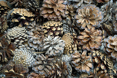 Ponderosa Pine cones along the Tuolumne River, Yosemite National Park, California.