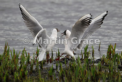 Confrontation between Black-Headed Gulls (Larus ridibundus)