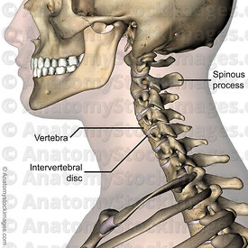 neck-intervertebral-disc-discus-intervertebralis-spinous-process-processus-spinosus-cervical-spine-side-skin-names